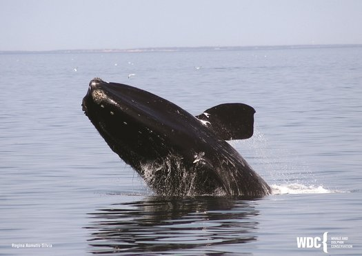 image of Speak up for right whales!