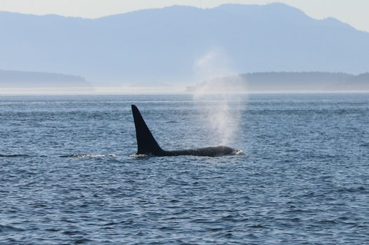 image of Saving Southern Resident orcas